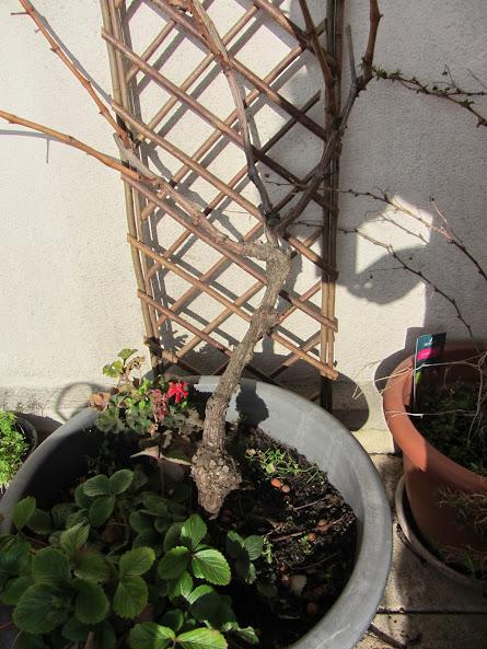 Comment tailler une vigne en pot page 7 au jardin - Comment tailler une treille de raisin ...