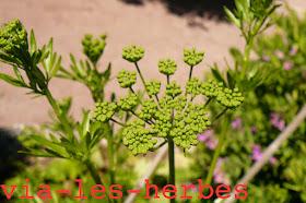 fleur de persil non eclos2.jpg