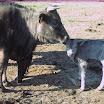 koeien 006.jpg