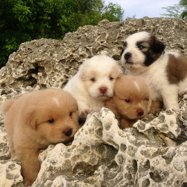 Pups For Sale! by Dickson   Shia - Animals - Dogs Puppies ( pets, beach, dogs, portrait, puppies )