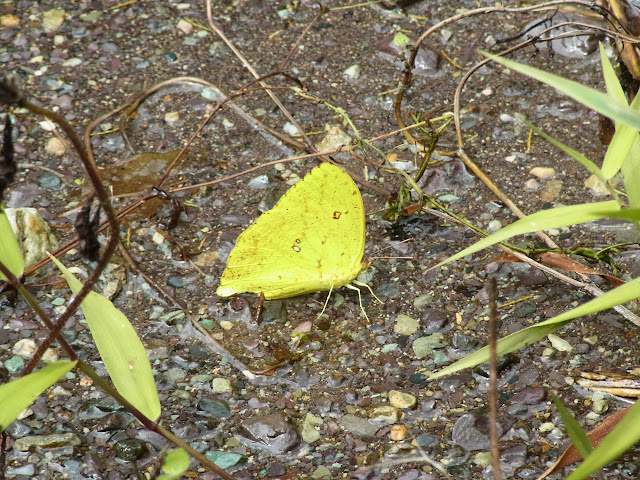 Phoebis neocypris virgo (A. Butler, 1870), mâle. Santa María en Boyacá, 1200 m (Boyacá, Colombie), 16 novembre 2015. Photo : J. Michel