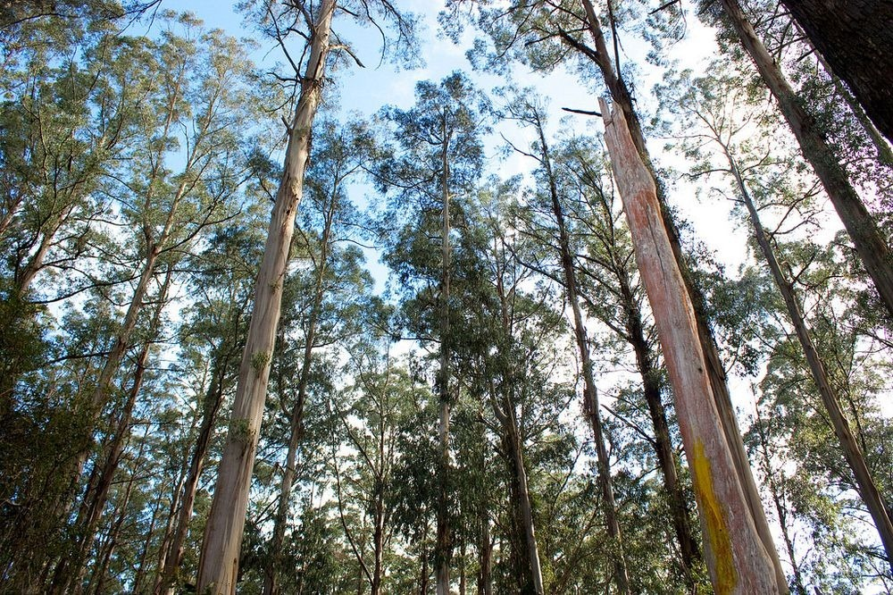eucalyptus-mountain-ash-2