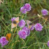 Boloria pales palustris FRUHSTORFER, 1909, mâle et femelles. Fouillouse, 2300 m (Alpes-de-Haute-Provence), 3 août 2009. Photo : J.-M. Gayman