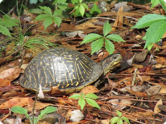9 Van Fleet - Florida Box Turtle Reptile (6)