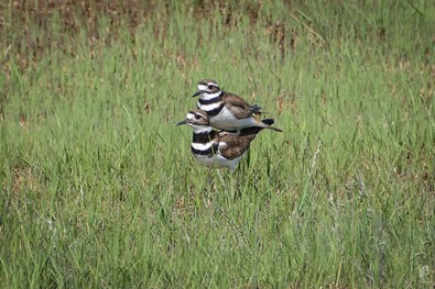 Kildeer Mating P1020685