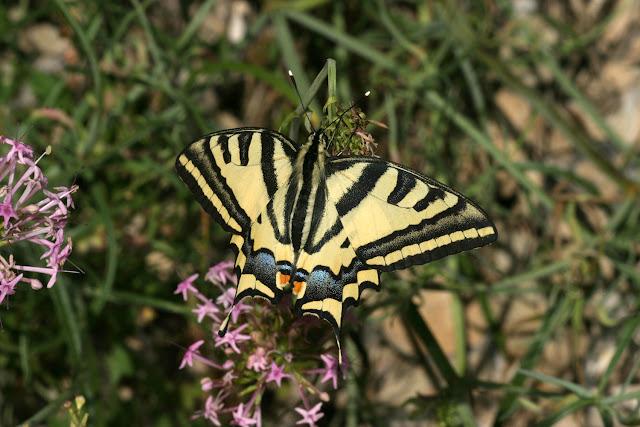 Papilio alexanor ESPER, 1799, environs de Saint-Crépin, Hautes-Alpes (1000-1300m), juillet 2008. Photo : Luc Manil