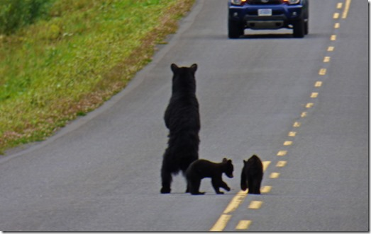 Mama Bear faces off car to protect cubs,  Cassiar Highway