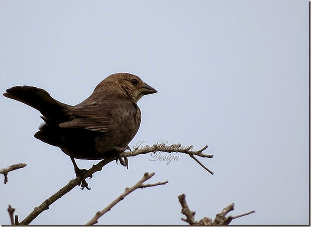 Brown-headed_Cowbird