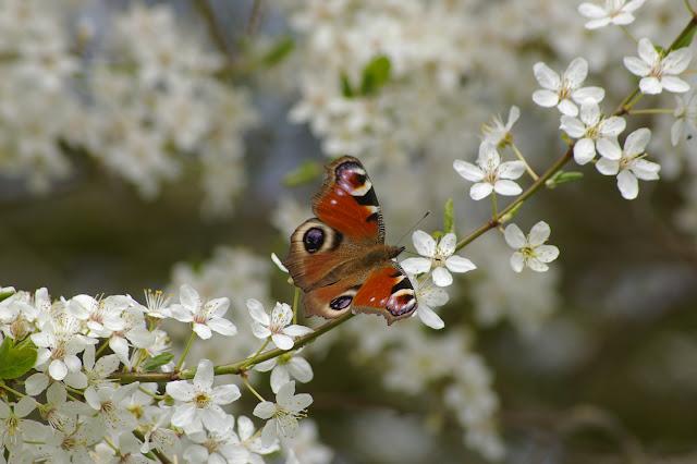 Inachis io LINNAEUS, 1758, sur fleurs de prunier du jardin. Les Hautes-Lisières, 3 avril 2009. Photo : J.-M. Gayman