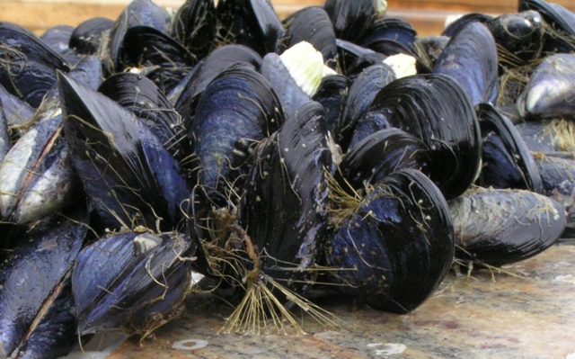 Trossulus byssus mussels. Scientists from the University of Washington have found evidence that ocean acidification caused by carbon emissions can prevent mussels attaching themselves to rocks and other substrates, making them easy targets for predators and threatening the mussel farming industry. Photo: Emily Carrington