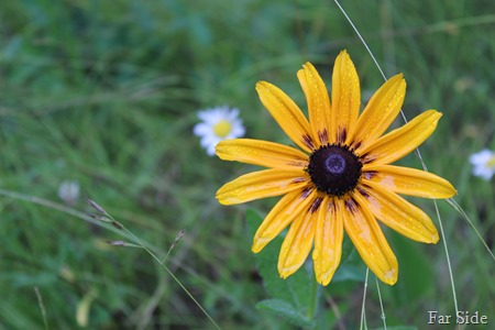 Rain on Rudbeckia