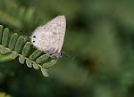 LIlle vandreblåfugl, Leptotes pirithous2.jpg