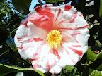 白〜淡桃色地 濃紅色縦〜小絞り 八重咲き 筒しべ 中輪