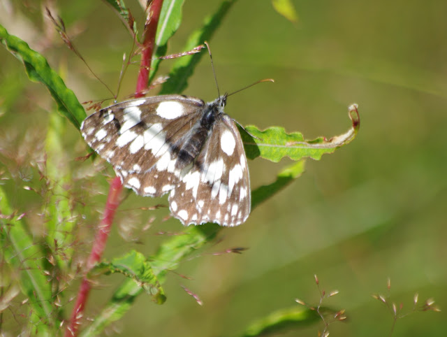 Melanargia galathea (L., 1758). Paulhac-en-Margeride, 1230 m (Lozère), 19 août 2013. Photo : J.-M. Gayman