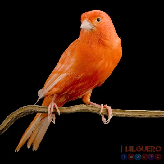 أصل و تاريخ طيور الكناري–الجزء الثاني
