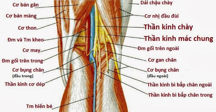 dây thần kinh hông to ở trám khoeo