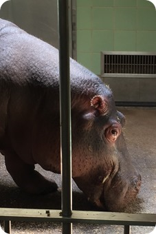 Hippo at Cheyenne Mountain Zoo
