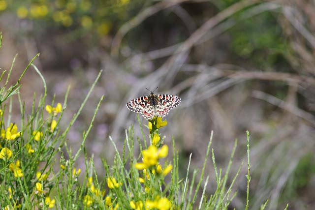 Zerynthia rumina (L., 1758). Plateau de Coupon (511 m), Viens (Vaucluse), 8 mai 2014. Photo : J.-M. Gayman