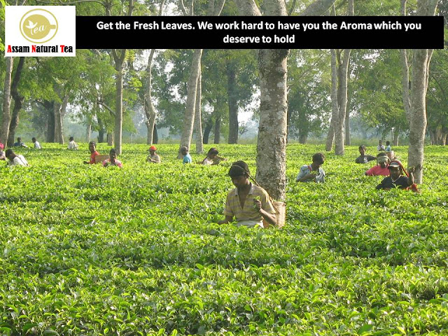 assam tea dealer