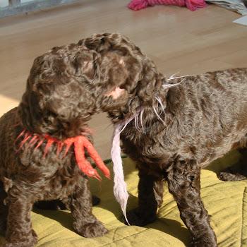 poedel puppen 13 3 2008