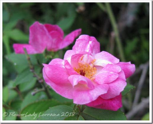 05-17-back-roses
