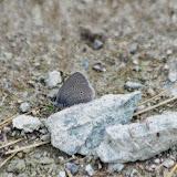 Cupido minimus minimus (FUESSLY, 1775). Fex Platta, 1900 m (Engadine, Grisons, CH), 10 juillet 2013. Photo : J.-M. Gayman