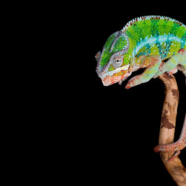 Pascal by Jen St. Louis - Animals Reptiles ( studio, chameleon, pascal, panther chameleon, animal, low-key, reptile, lizard, pet,  )