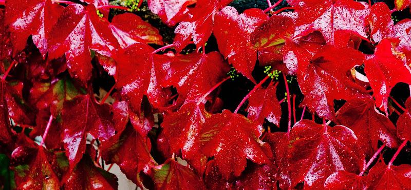 foglie rosse per te di domenicolobinaphoto