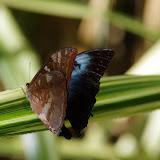 Morpho (Iphimedeia) telemachus telemachus (L., 1758). Premier layon, Patawa (Montagne de Kaw), 25 octobre 2012. Photo : J.-M. Gayman