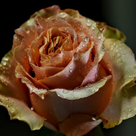 Rose from South by Franco Salis - Flowers Single Flower