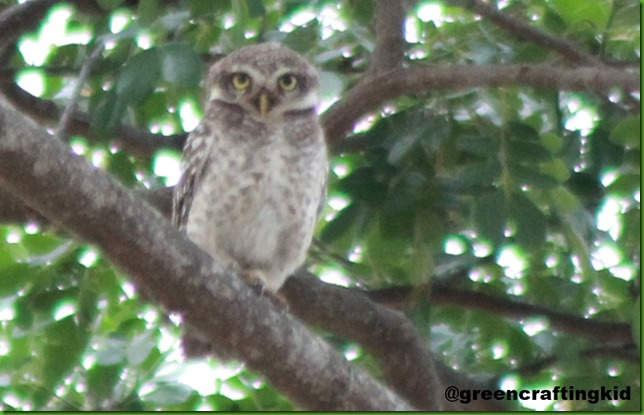 Spotted Owlet 1