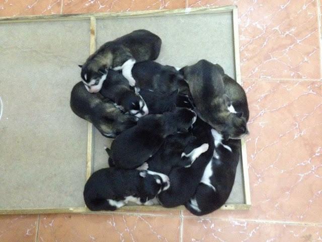 Những chú chó con tại trại chó Pô Pô Alaska
