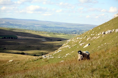 Sheep on a hillside in the Eden Valley in Cumbria in the UK
