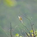 Prinia flaviventris 黃腹鷦鶯