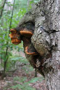 Strange growths on a tree