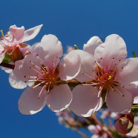 Gentle peach blossom by Snezana Petrovic - Nature Up Close Flowers - 2011-2013 ( sky, gentle, blue, peach, pink, blossom,  )