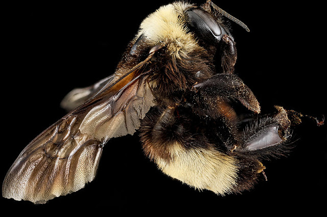 Rusty-patched Bumble Bee (B. auricomus)