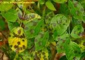 Black Spots on Rose Leaves due to fungus disease
