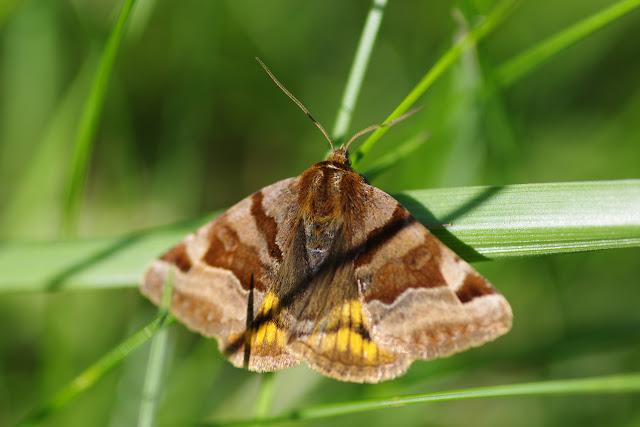Noctuidae : Catocalinae : Euclidia glyphica (Linnaeus, 1758). Les Hautes-Lisières (Rouvres, 28), 6 juin 2015. Photo : J.-M. Gayman