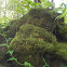 unidentified log fungi