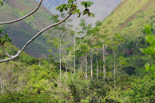 Biotope de Morpho helenor rugitaeniatus. Vallée du Rio Guallupe, 1500 m (Imbabura, Équateur), 2 décembre 2013. Photo : J.-M. Gayman