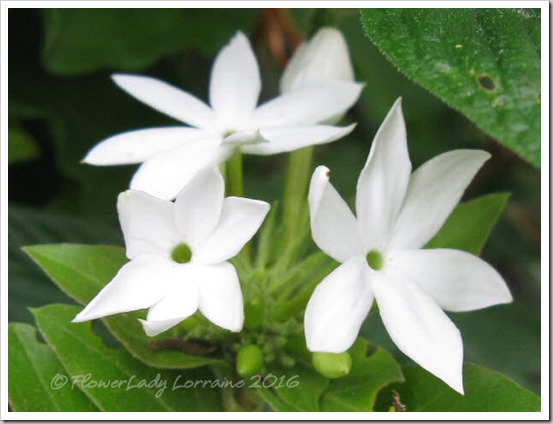 12-09-downy-jasmine