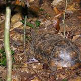 Tortue terrestre denticulée (Chelonoidis denticulata LINNAEUS, 1766) près de Popote. Saül (Guyane), 1er décembre 2011. Photo : J.-M. Gayman
