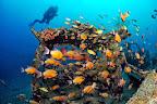 Schools of fish swimming around a Toyota wreck.