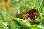 Harlekinperlemorsommerfugl, titania6.jpg
