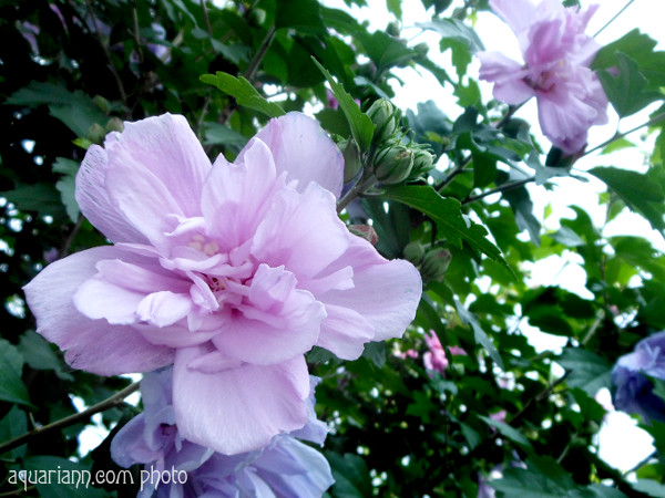 Rose of Sharon Tree Photo By Aquariann