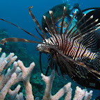 Lionfish (Cabilao)