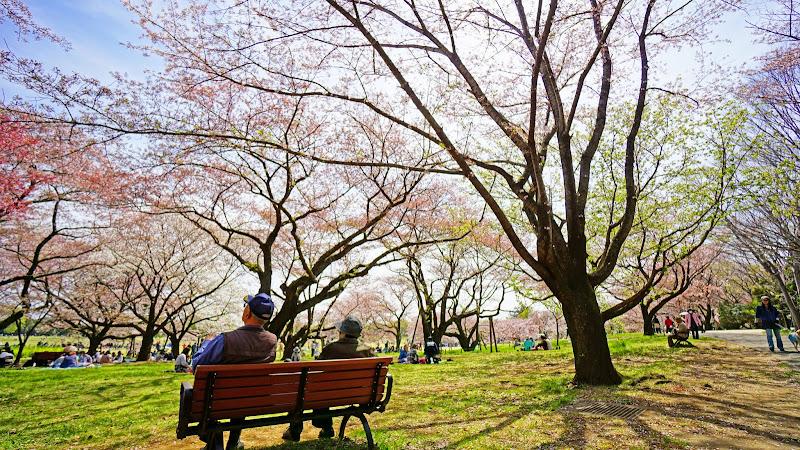 昭和記念公園 桜 写真23