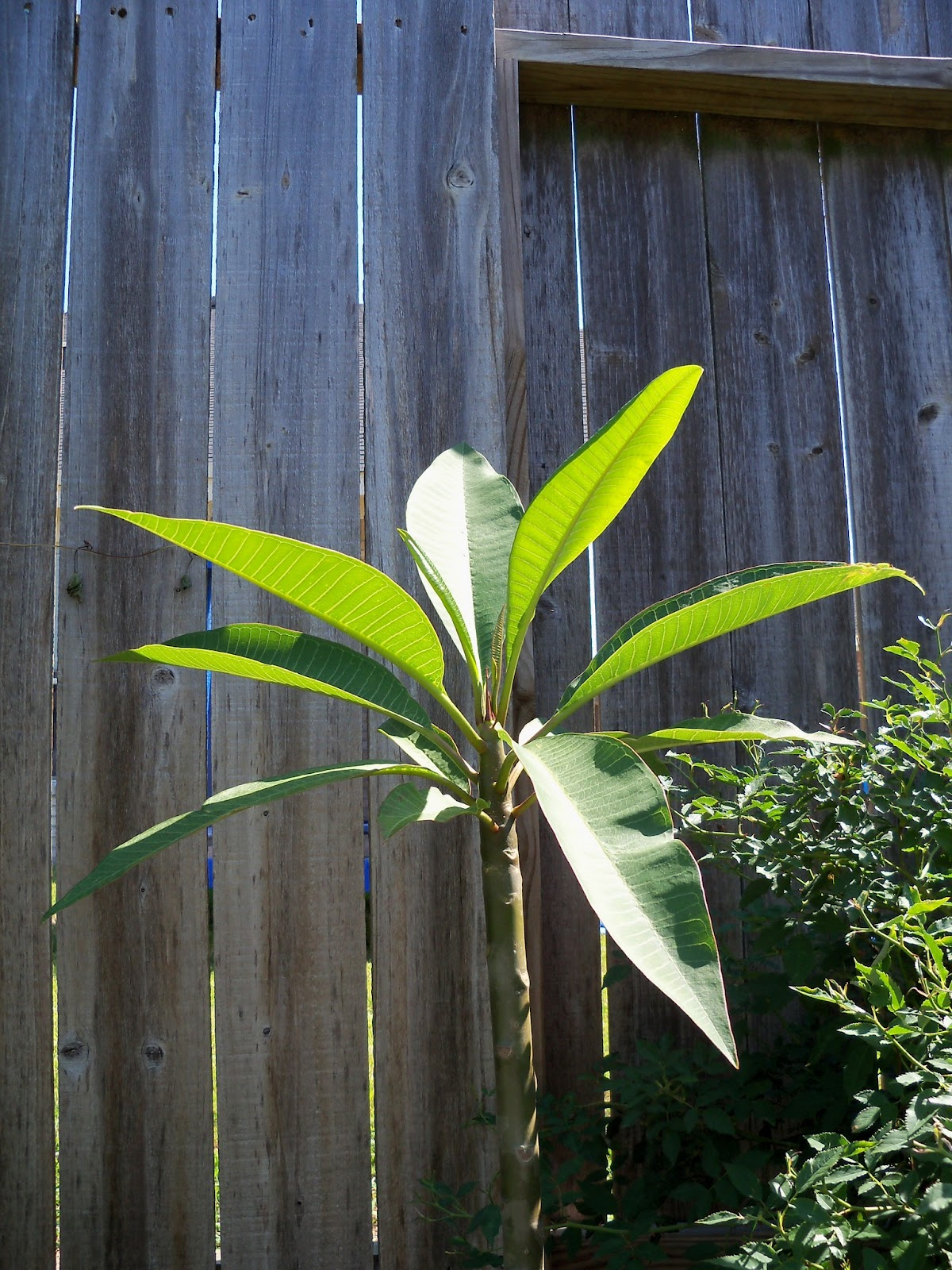 Gardening 2011 - 100_9092.JPG