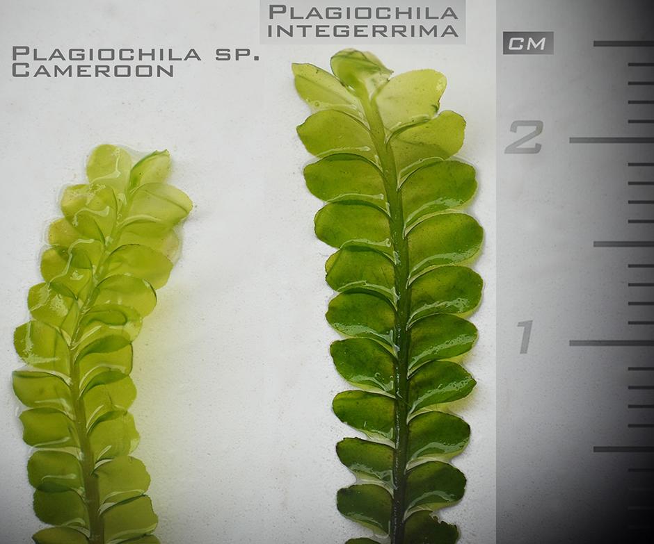 Плагиохила прямостоячая (Plagiochila integerrima)